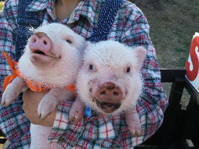 ミニブタ収穫祭写真